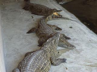 Bagamoyo crocodiles