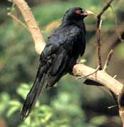 Indian cuckoo-koel