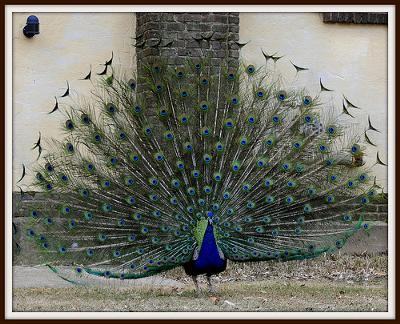 short essay on my favourite bird peacock 22 जुलाई 2017  essay on peacock in hindi :मोर भारत का राष्ट्रीय पक्षी है। इनको  मयूर भी कहा जाता हैं। मोर दिखने में बहुत ही.